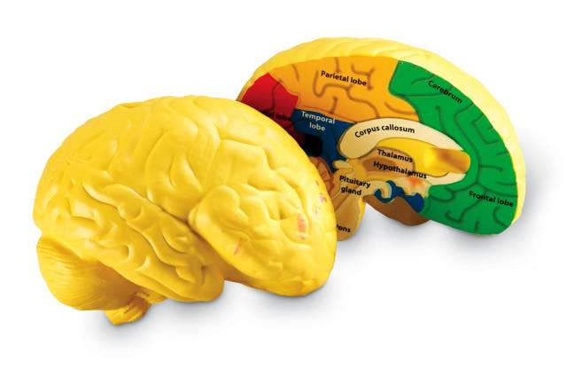 Brain Cross-Section Model