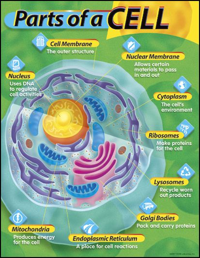 Parts of a Cell Learning Chart | Trend Enterprises | 9781587923012
