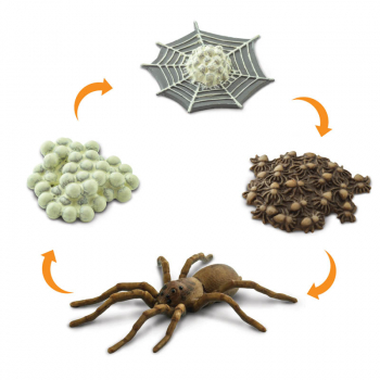 Life Cycle of a Spider (Safariology)