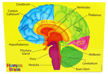 Human Brain (Foam Human Anatomy STEM Manipulatives)