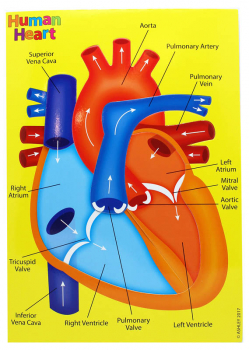 Human Heart (Foam Human Anatomy STEM Manipulatives)