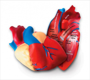 Human Heart Cross-Section Model