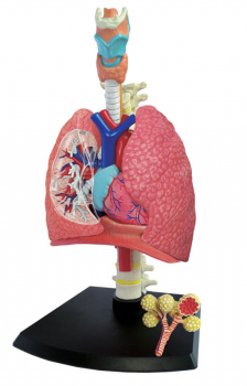 4D Human Anatomy Respiratory System Model