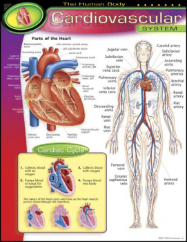 Human Body Cardiovascular Learning Chart