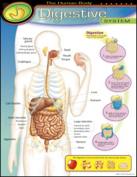 Human Body Digestive System Learning Chart