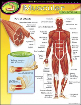 Human Body Muscular System Learning Chart