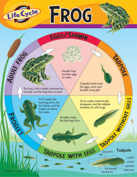 Life Cycle of a Frog Learning Chart