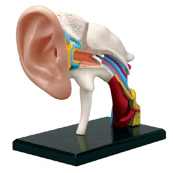 4D Human Ear Anatomy Model